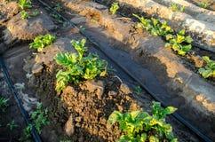 Den unga potatisen v?xer i f?ltet och bevattnat med droppbevattning V?xande organiska gr?nsaker Jordbruk lantbruk Lantg?rd royaltyfria bilder
