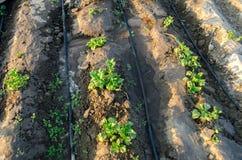 Den unga potatisen v?xer i f?ltet och bevattnat med droppbevattning V?xande organiska gr?nsaker Jordbruk lantbruk Lantg?rd arkivfoton