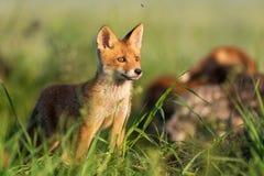 Den unga röda räven står i gräset på ett härligt ljus royaltyfri foto