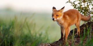 Den unga röda räven står på vaggar i gräset royaltyfria bilder