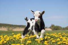 Den unga roliga geten hoppar i maskrosor Fotografering för Bildbyråer