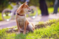 Den unga shibainuen sitter i parkera Royaltyfri Foto