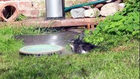 Den unga skatan, tar ett bad under den trädgårds- duschen i aexuberant och skämtsam väg arkivfilmer
