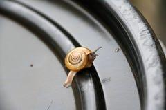 Den unga snigeln som går långsamt på det svarta plast- locket, snigeln, är ett blötdjur med ett enkelt spiralt skal Royaltyfri Bild