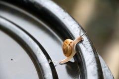 Den unga snigeln som går långsamt på det svarta plast- locket, snigeln, är ett blötdjur med ett enkelt spiralt skal Arkivbild