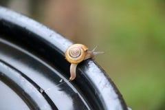Den unga snigeln som går långsamt på det svarta plast- locket, snigeln, är ett blötdjur med ett enkelt spiralt skal Arkivbilder
