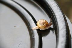Den unga snigeln som går långsamt på det svarta plast- locket, snigeln, är ett blötdjur med ett enkelt spiralt skal Arkivfoto