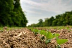 Den unga sojabönan spirar att komma upp från nytt brukad jordning Arkivfoton