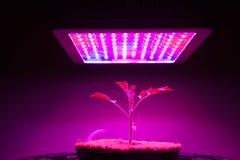 Den unga tomatväxten under LED växer ljus Arkivfoton