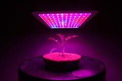 Den unga tomatväxten under LED växer ljus Arkivbild