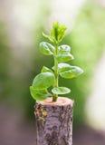 Den unga trädplantan växer från stubbe Royaltyfri Foto