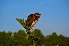 Den unga Tricolored hägret (den tricolor egrettaen) sätta sig på filial Arkivfoto