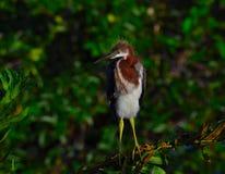 Den unga Tricolored hägret (den tricolor egrettaen) sätta sig på filial Arkivbilder
