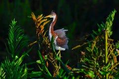Den unga Tricolored hägret (den tricolor egrettaen) sätta sig på filial Royaltyfri Foto