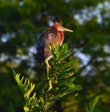 Den unga Tricolored hägret (den tricolor egrettaen) sätta sig på filial Fotografering för Bildbyråer