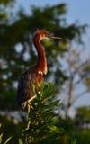 Den unga Tricolored hägret (den tricolor egrettaen) sätta sig på filial Royaltyfri Fotografi