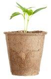 Den unga växten växer från en fertil jord isoleras Royaltyfria Bilder