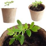Den unga växten växer från fertil jord isoleras på en vit Arkivbild