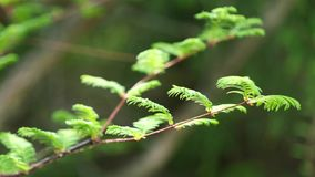 Den unga våren lämnar på filialspets av det Dawn Redwood trädet i mild vind, 4K lager videofilmer