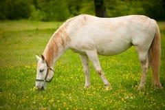 Den unga vita Lipizaner hästen betar på i vår Fotografering för Bildbyråer