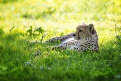 Den unga vuxna geparden vilar i skuggan royaltyfri bild