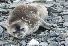 Den unga Weddell skyddsremsan som vilar på, vaggar av en liten Antarktis isl Arkivfoton