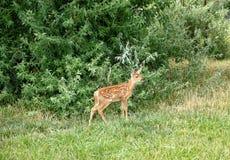 Den unga whitetailen lismar hjortar royaltyfria bilder