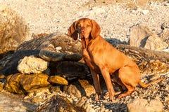 Den ungerska pekaren Vizsla simmar i havet Hundlekarna i vattnet Hundutbildning Sommardag med en hund vid havet Royaltyfri Bild