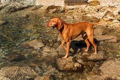 Den ungerska pekaren Vizsla simmar i havet Hundlekarna i vattnet Hundutbildning Sommardag med en hund vid havet Royaltyfria Bilder