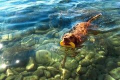 Den ungerska pekaren Vizsla simmar i havet Hundlekarna i vattnet Hundutbildning Sommardag med en hund vid havet Royaltyfri Fotografi
