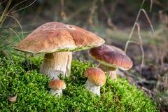 Den unika adelsmannen plocka svamp på mossa i skog Royaltyfri Fotografi