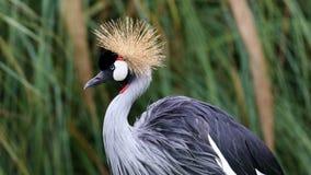 Den unika afrikanen krönade kranen i en sjö, högt definitionfoto av detta underbara fågel- i Sydamerika Royaltyfri Bild
