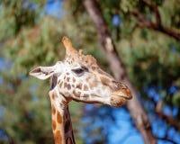 Den unika djura långa halsgiraffet arkivbilder