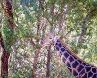 Den unika djura långa halsgiraffet arkivfoto
