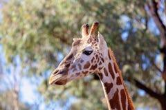 Den unika långa hånglade långa lade benen på ryggen giraffet royaltyfria foton