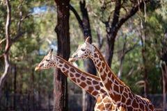 Den unika långa hånglade långa lade benen på ryggen giraffet arkivbild