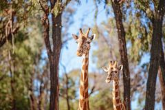 Den unika l?nga h?nglade l?nga lade benen p? ryggen giraffet arkivbild