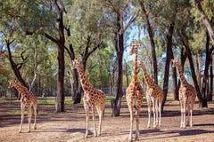 Den unika l?nga h?nglade l?nga lade benen p? ryggen giraffet arkivbilder