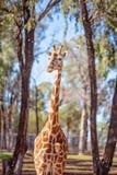 Den unika l?nga h?nglade l?nga lade benen p? ryggen giraffet royaltyfri bild