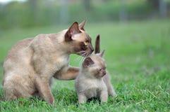 Den unika ståendemoderkatten tafsar behandla som ett barn omkring kattungen arkivfoton