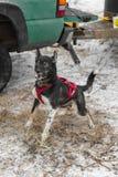 Den upphetsade slädehunden studsar före loppet Fotografering för Bildbyråer
