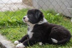 Den uppmärksamma hunden behandla som ett barn - den australiska herden arkivbild