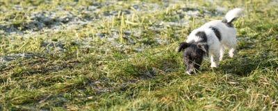 Den uppmärksamma Jack Russell Terrier valpen följer ett spår i den in sena hösten royaltyfria bilder