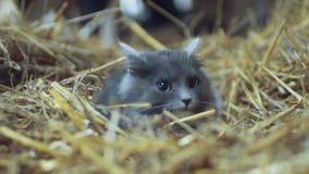 Den uppmärksamma skrämda gråa katten med gröna ögon ligger i höet, ser höger in mot kameran Stående av britten arkivfilmer