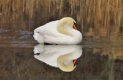 Den uppochnervända vita svanen royaltyfri fotografi