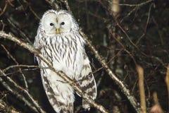 Den Ural owlen, Strixuralensis Arkivbild