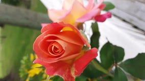 Den ursnygga röda rosen och suddiga rosa färger steg arkivbild