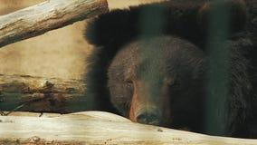 Den Ussuri björnen ligger på träjournalursusthibetanus