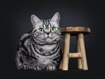 Den utmärkta svarta strimmiga katten försilvrar den flammiga brittiska Shorthair kattkattungen som isoleras på svart bakgrund arkivfoto