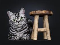 Den utmärkta svarta strimmiga katten försilvrar den flammiga brittiska Shorthair kattkattungen som isoleras på svart bakgrund royaltyfria foton